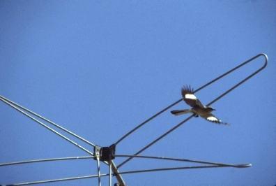 PLACE mockingbirds 1
